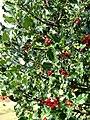 Common Holly (Ilex aquifolium) - geograph.org.uk - 581883.jpg
