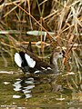 Common Moorhen (Gallinula chloropus) (24063716285).jpg
