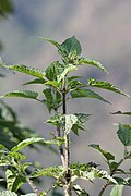Common Nettle.jpg
