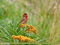 Common Rosefinch (Carpodacus erythrinus) (46575698011).jpg