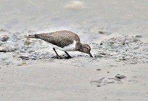 Common sandpiper - Wintering bird foraging matakakoni-style, Puri (Odisha, India)