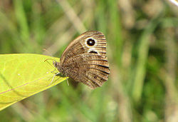Common Wood Nymph.jpg