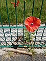 Common poppy growing on tarmac.jpg