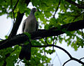 Common wood pigeon (18803007836).jpg