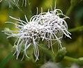 Communist pachha flower.JPG