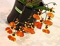 Comparumnia Jiaho Butterfly -台南國際蘭展 Taiwan International Orchid Show- (39067483890).jpg