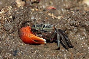 Fiddler crab - Compressed fiddler crab Uca coarctata male Rinca, Indonesia