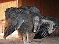 Condor chick 103 125 days old (25299447037).jpg