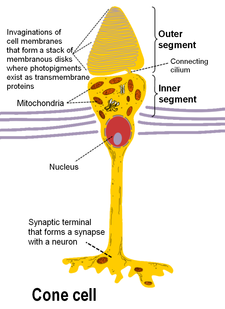 Cone cell structure