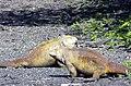 Conolophus subcristatus.jpg