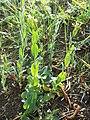 Conringia orientalis sl20.jpg