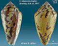 Conus algoensis simplex 1.jpg