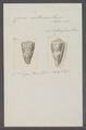 Conus nocturnus - - Print - Iconographia Zoologica - Special Collections University of Amsterdam - UBAINV0274 086 01 0013.tif