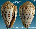 Conus parvatus 1.jpg