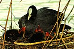 Coots - Stanborough Lakes (17150480783).jpg