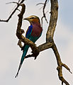 Coracias caudatus -Kruger National Park, South Africa -adult-8.jpg