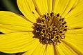 Coreopsis palmata — Frank Mayfield 004.jpg