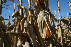 English: A ripe ear of corn (Zea mays) hangs i...