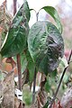Cornus florida Appalachian Spring 0zz.jpg