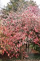 Cornus florida kz02.jpg