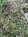 Corokia cotoneaster growing beside the track into Te Toto Gorge, Raglan, New Zealand.jpg