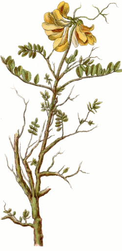Coronilla vaginalis cleaned Sturm.png