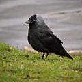 Corvus monedula grass.jpg