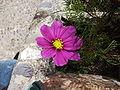 Cosmos plant.jpg