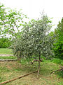 Costigiola-olivo-2.jpg