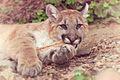 Cougar Holding a Stick (17593481484).jpg