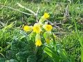 Cowslip (Primula veris) (4503358948).jpg