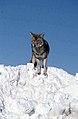 Coyote023 (26901961936).jpg