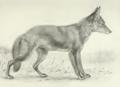 Coyote life study - Seton Thompson (1886).png