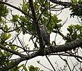 Crane Hawk Geranospiza caerulescens (41364596770).jpg