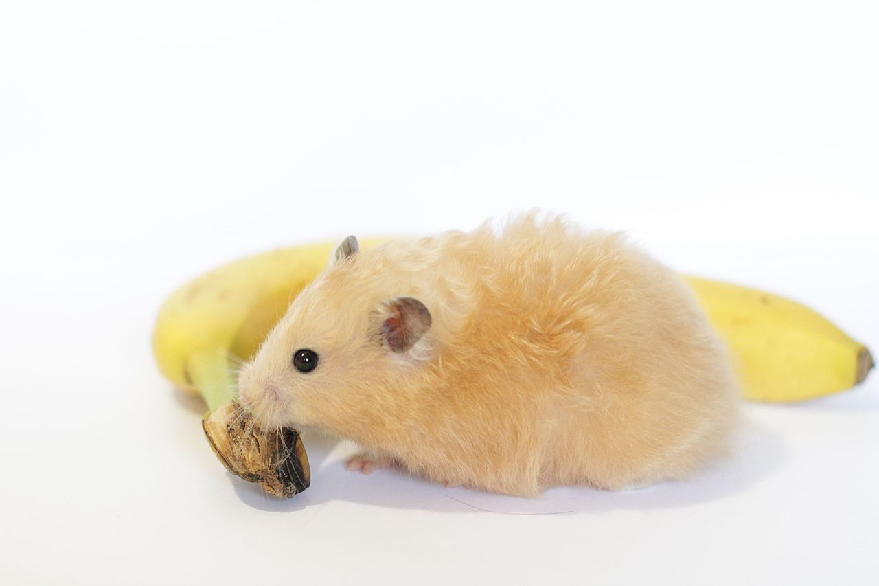 Long Haired Hamster Colors 73