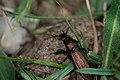 Creepy crawlies 2015, Switzerland - Graslandschallebijter (Carabus monilis) (20070491256).jpg