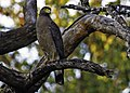 Crested Serpent Eagle-habitat shot.jpg