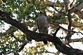 Crested Serpent Eagle 10.jpg