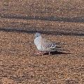 Crested pigeon Hamilton St Boulia Queensland P1040073.jpg