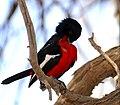 Crimson-breasted Shrike (Laniarius atrococcineus) preening ... (46055148572).jpg
