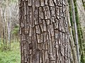 Crocodile-bark tree (5598100734).jpg