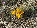 Crocus ancyrensis - Flickr - peganum.jpg