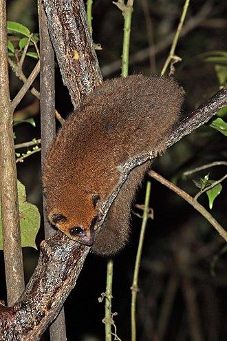 Furry-eared dwarf lemur - Image: Crossley's dwarf lemur (Cheirogaleus crossleyi) Ranomafana 2