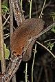 Crossley's dwarf lemur (Cheirogaleus crossleyi) Ranomafana 2.jpg