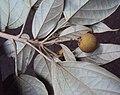 Croton malabaricus 29.jpg
