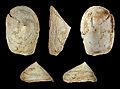 Crucibulum deformis 01.JPG