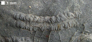 Cruziana - Cruziana from the Devonian Brallier Formation or Harrell Formation.