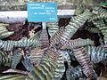 Cryptanthus zonatus var. fuscus.JPG