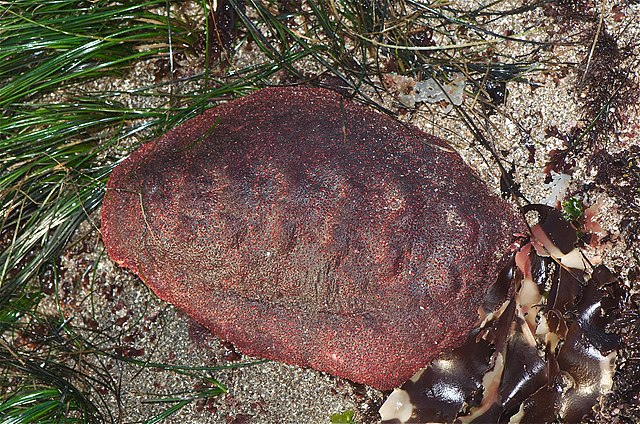 Cryptochiton stelleri (Gum Boot Chiton) by Jerry Kirkhart