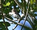 Cuban Pygmy-owl 2495239721 clip.jpg